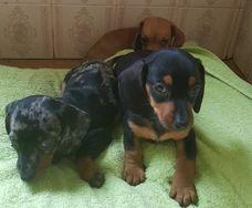 Cachorros Dachshund
