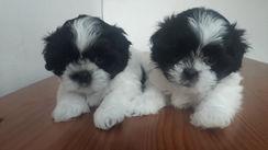 Cachorros Shih-Tzu
