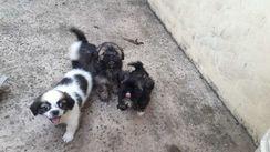 Filhotes de Cachorros Shitzu